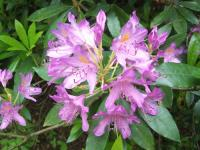 How to Grow Rhododendrons & Azaleas