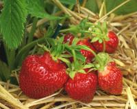How to Propagate Strawberries