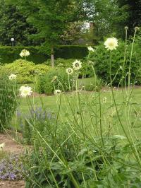 Land of the Giant Scabious