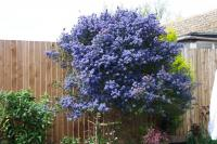 Ceanothus, or the Californian Lilac