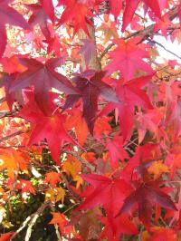 Autumn Colour from the Sweet Gum Tree