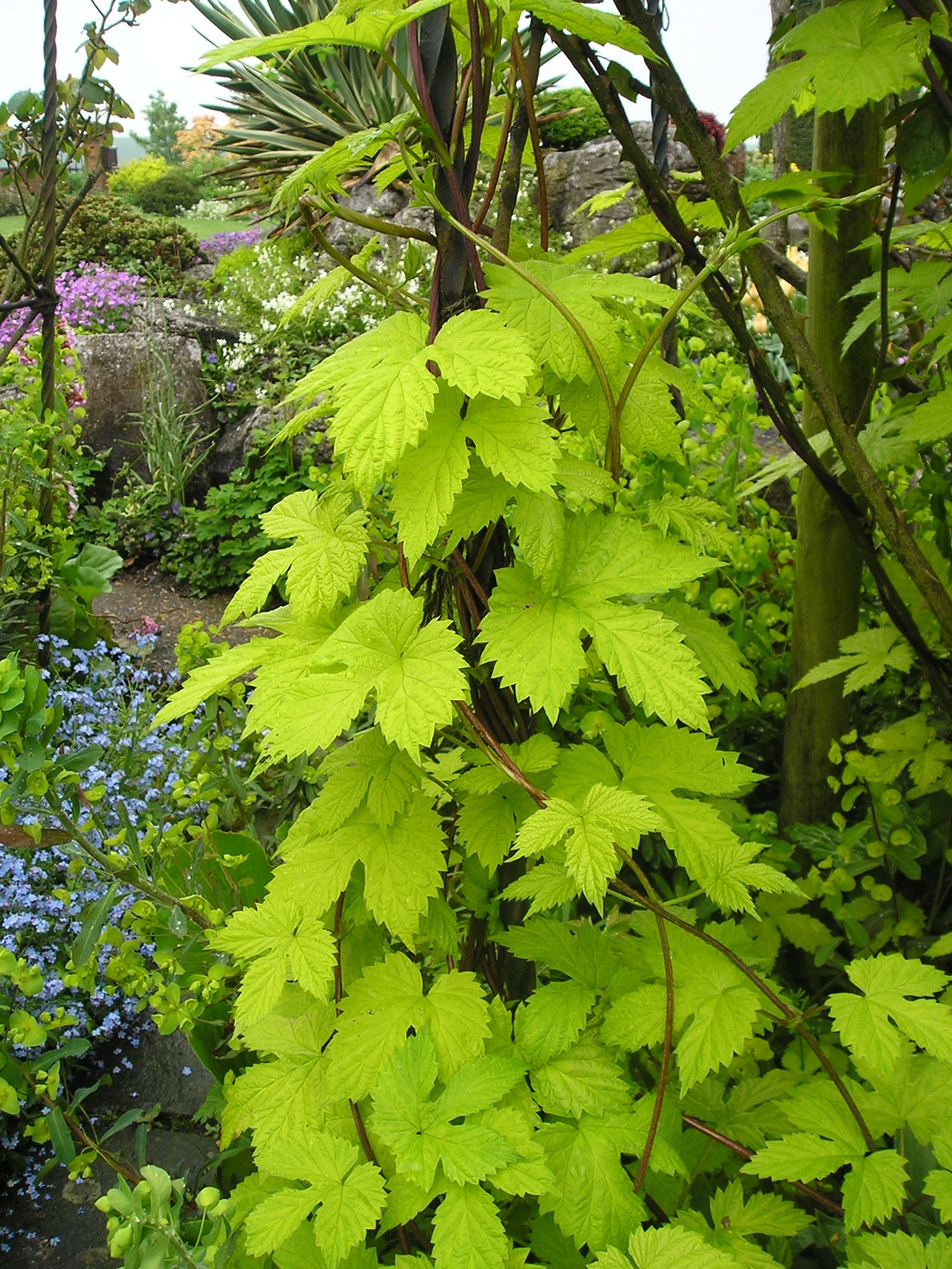 Garden Bush: Humulus Lupulus 'Aureus'