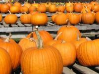 Don't be Disappointed about the size of your Pumpkins this Halloween