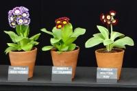 Display of Auriculas against a black background