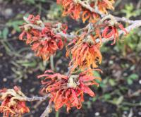 Witch Hazel - Hamamelis × intermedia  'Diane'