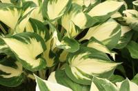 Plantain Lily - Hosta  'Fire and Ice'