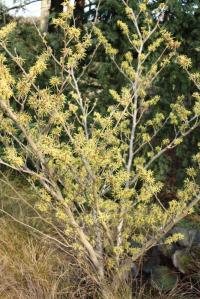 Plant image for Witch Hazel - Hamamelis × intermedia  'Pallida'