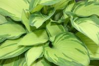 Plantain Lily - Hosta  'Gold Standard'