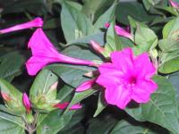Marvel of Peru - Mirabilis jalapa