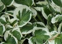 Plantain Lily - Hosta  'Patriot'