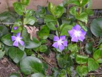 Greater Periwinkle - Vinca major