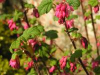 Flowering Currant - Ribes sanguineum 'Pulborough Scarlet'