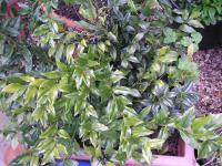 Sweet Box - Sarcococca confusa