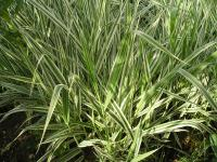 Reed Canary Grass - Phalaris arundinacea  'Picta'