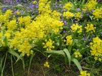 Golden Garlic - Allium moly