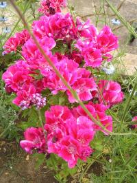 Satin Flower - Clarkia amoena Grace Series