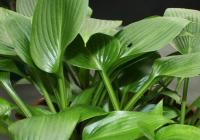Plantain Lily - Hosta  'Devon Green'