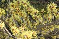 Plant image for Witch Hazel - Hamamelis × intermedia  'Pallida'