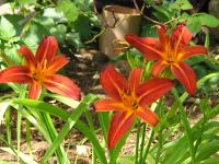 Day Lily - Hemerocallis