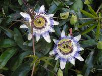 Blue Passion Flower - Passiflora caerulea