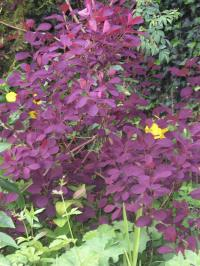 Smoke Bush - Cotinus coggygria 'Royal Purple'