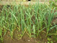 Garlic plants growing in the ground